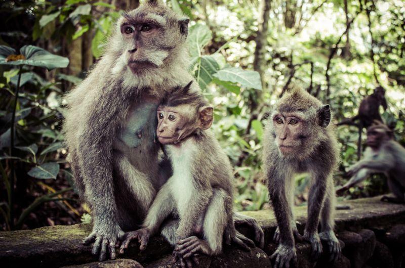 Monyet liar Ubud