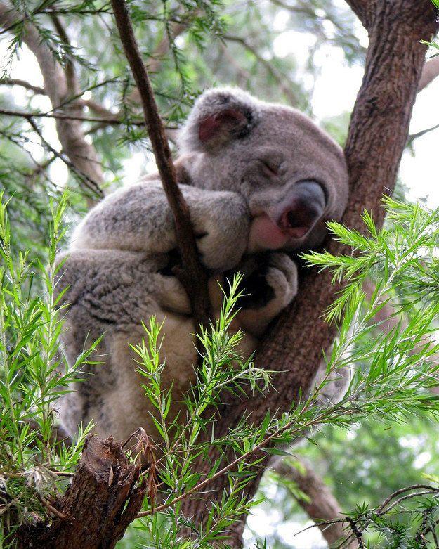 50 Gambar Hewan Koala Lucu Gratis