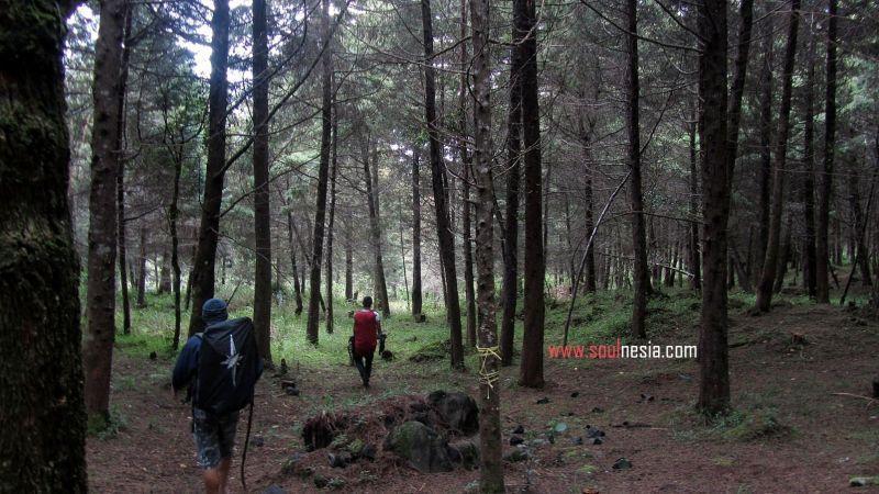 Pemandangan Hutan Pinus