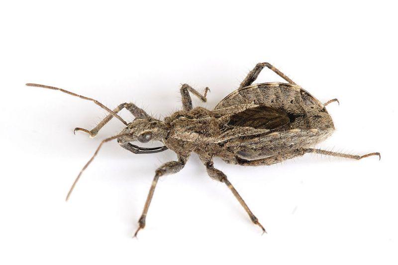 Kumbang asasin