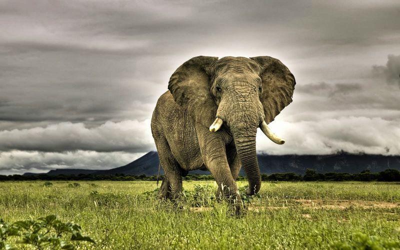 Gajah menyerang