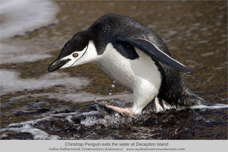 Penguin, warga asli pulau ini!