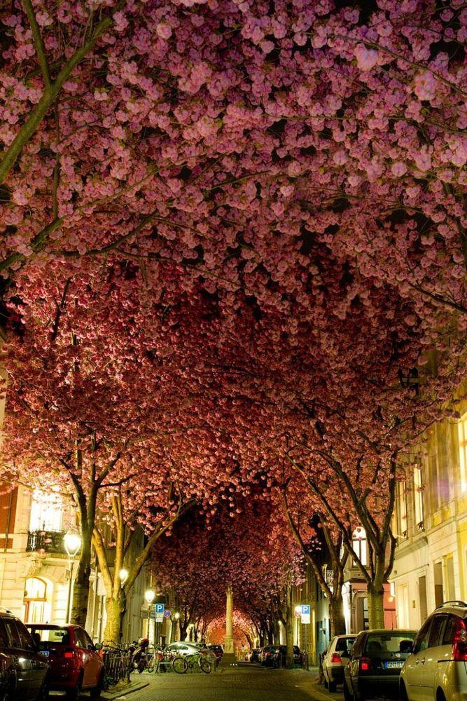 Sakura sepanjang jalan di Bonn, Jerman