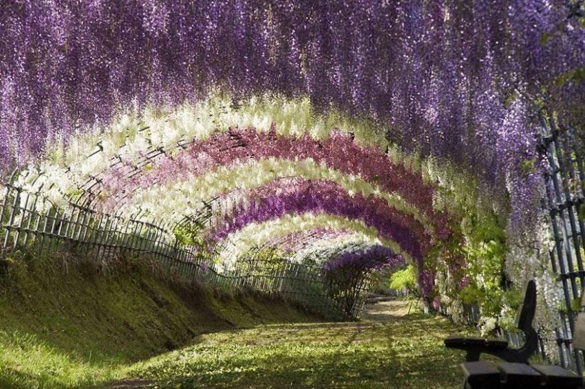 Warna -warni bunga wisteria