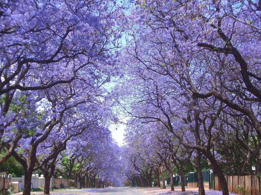 Jaracandas Walk