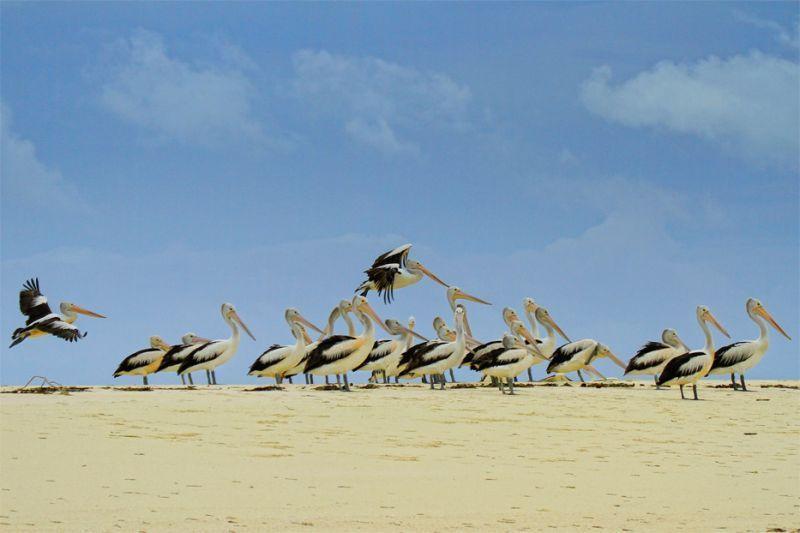 Kawanan burung Pelikan di pantai Ngurtafur