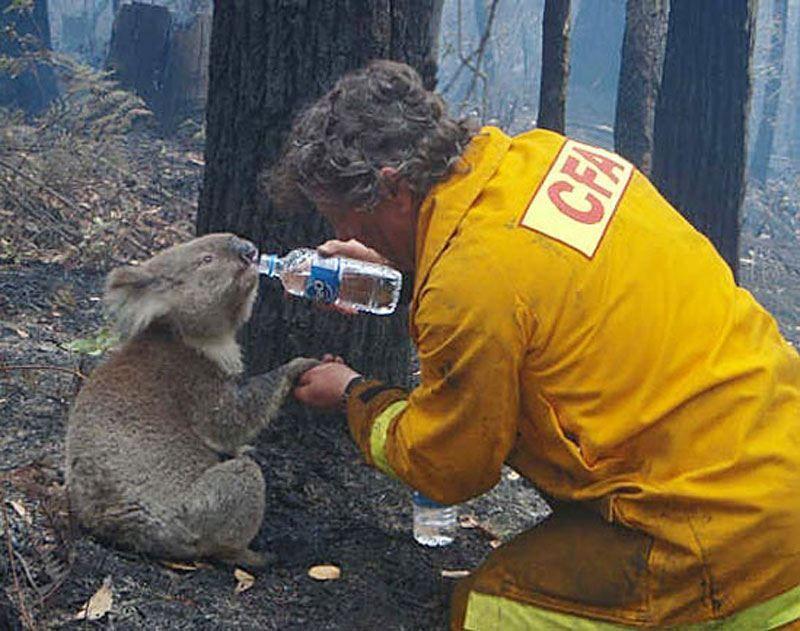Seorang petugas memberi minum koala yang dehidrasi di tengah kebakaran hutan di Australia