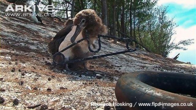 Seekor albatros yang kepalanya terjerat hanger  pakaian