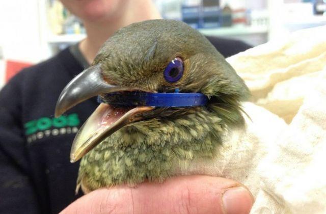 Bowerbird Australia yang kepalanya terjepit bagian tutup botol plastik