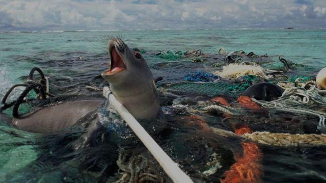 Anjing laut terjerat plastik
