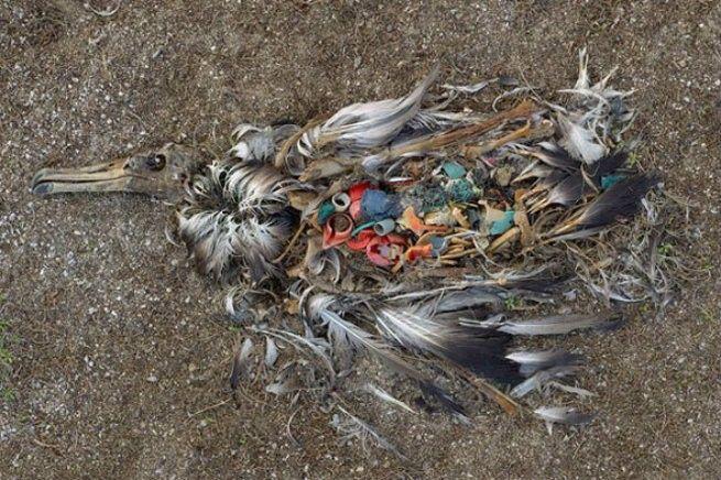 Bangkai burung di atol Midway.