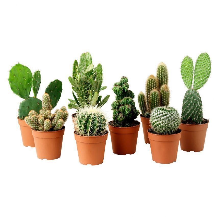 Mendingan cintai kaktus