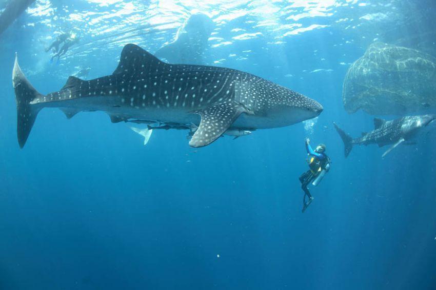 Berenang bareng hiu paus di Teluk Cendrawasih