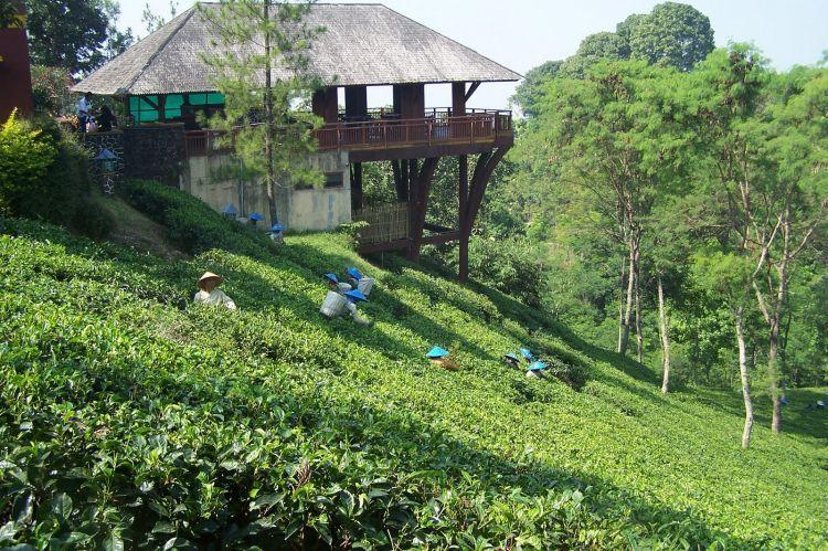 Kebun teh yang menyejukkan mata