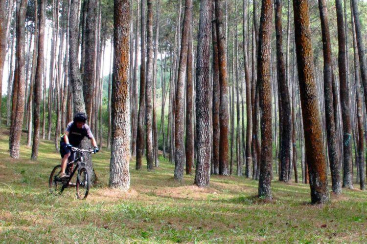 Sudah pernah sepedaan di antara pohon pinus?