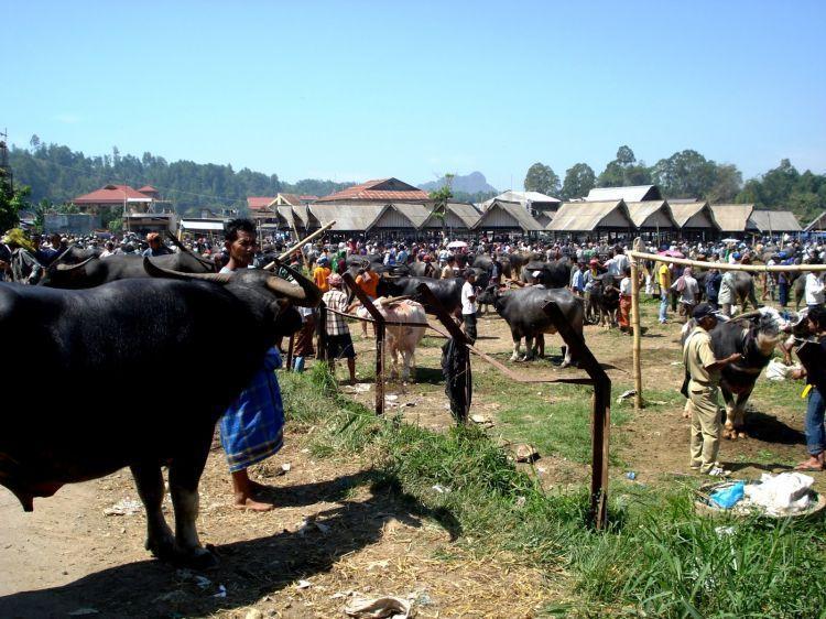 Berbagai kerbau yang berjejer di Pasar Bolu, Toraja