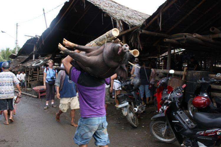 Harga babi di Toraja bisa mencapai ratusan juta