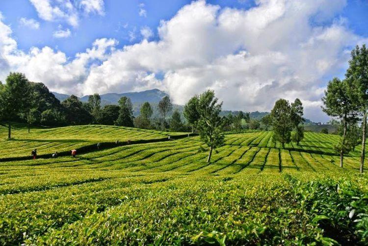 Perkebunan teh Dayeuh Manggung
