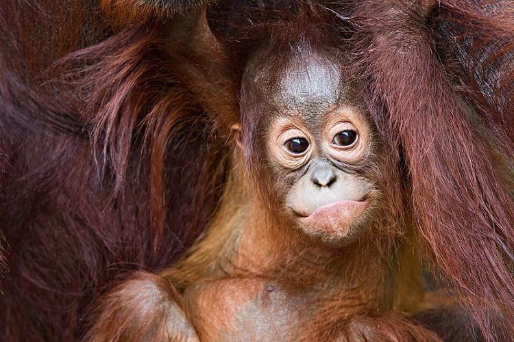 Bercengkerama dengan orangutan.