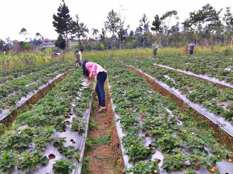Kebun Stroberi di Pratin