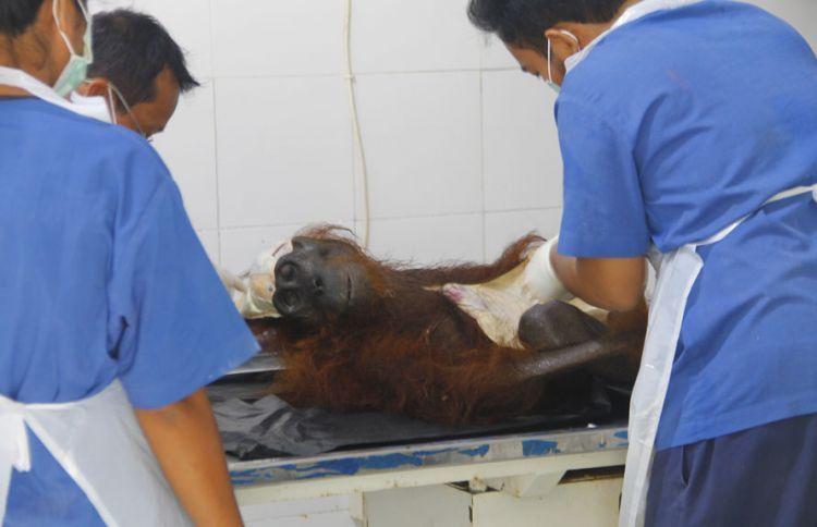 Orangutandengan 40 peluru bersarang di tubuhnya