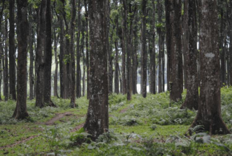 Hutan pinus Gunung Sawur (dok. pribadi)