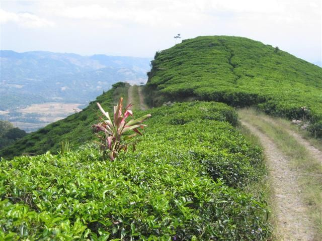 Segarnya suasana kebun teh Medini