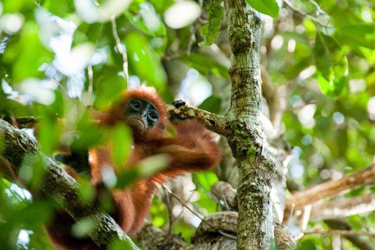 Kera Merah, salah satu penghuni hutan lindung sungai Wain