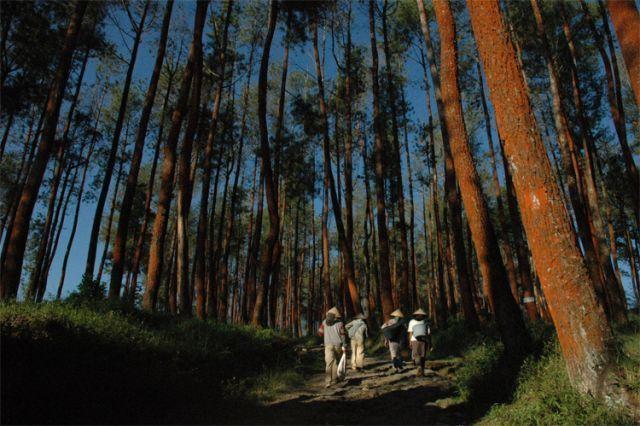 hutan pinus dikawasan jumprit