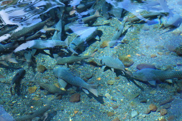 Ikan dewa di dasar kolam