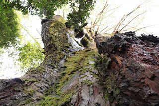 pohon walites dan misterinya
