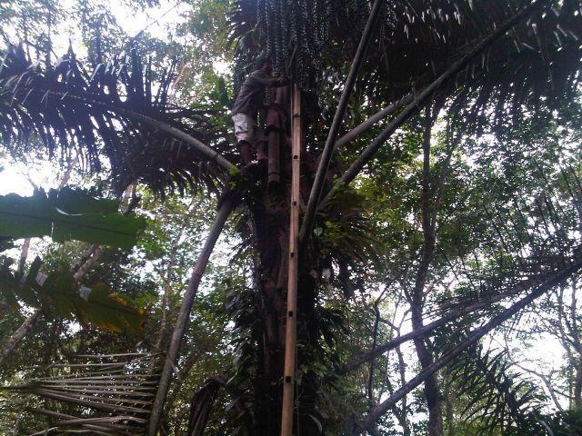 Pohon aren penghasil tuak memiliki banyak manfaat