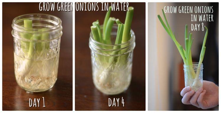 Cara memanfaat sampah bonggol daun bawang