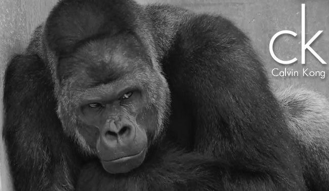 sexy-gorilla-Shabani-Japan-Higashiyama-Zoo-Calvin-Klein-650x377