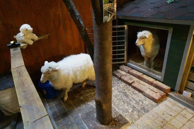 Siapa bilang harus ke Pegunungan Alpen dulu untuk melihat domba-domba mungil? Di Korea, domba-domba ini ada di dalam kafe!