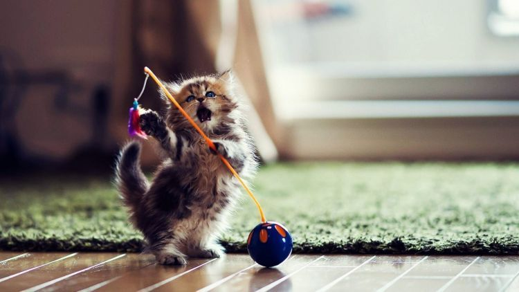 Main sama kucing, yuk.