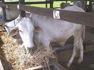sapi makan damen