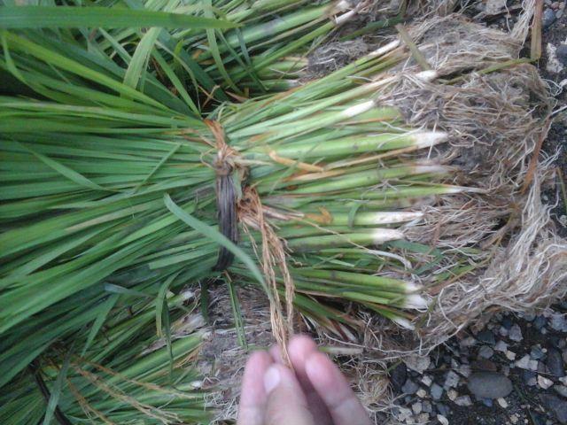 ikat untuk benih