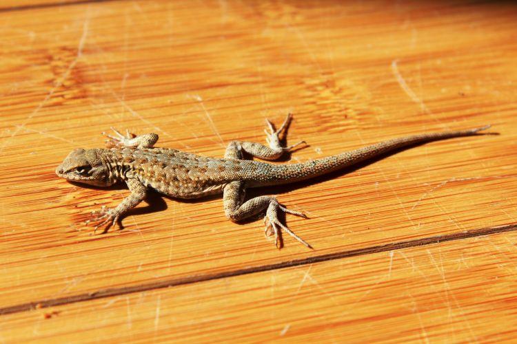 Bangsa Lizard. Lizard House.