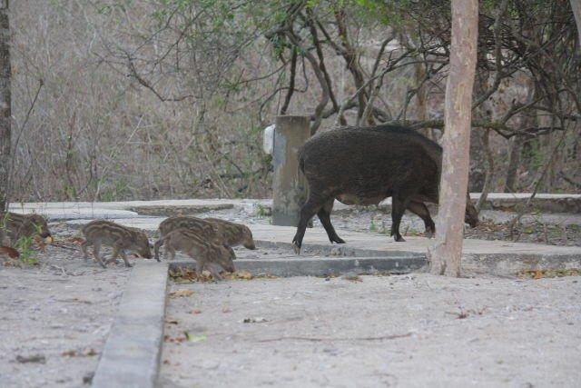 Rombongan Ibu dan Anak Babi
