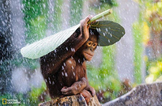 Orang Utan memayungi diri dari hujan.