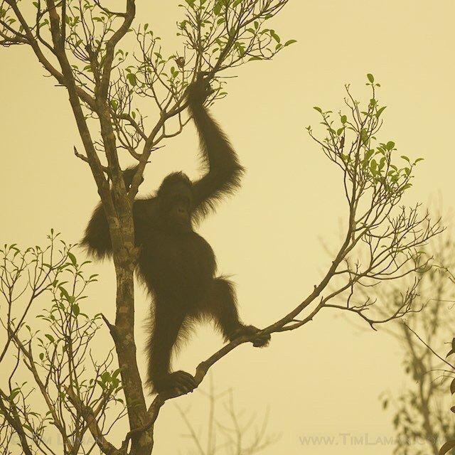 Bencana akan terus menimpa kawanan Orangutan ini. :(