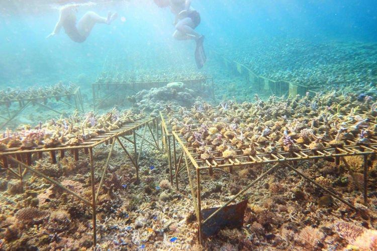 menanam terumbu karang