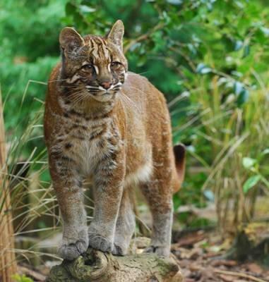 9 Jenis Spesies Kucing Indonesia yang Belum Kamu Ketahui