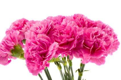 Bunga Anyelir (Carnation)