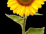 sunflowerhaechan