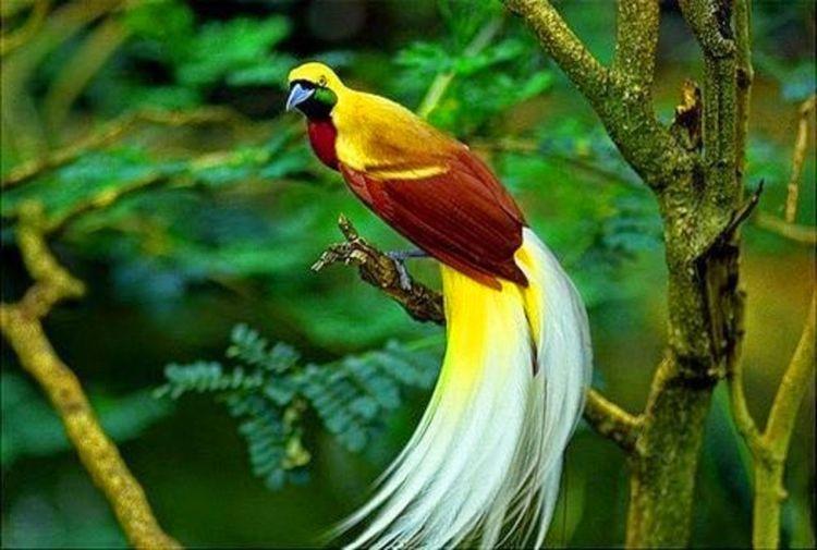 Burung Cendrawasih.