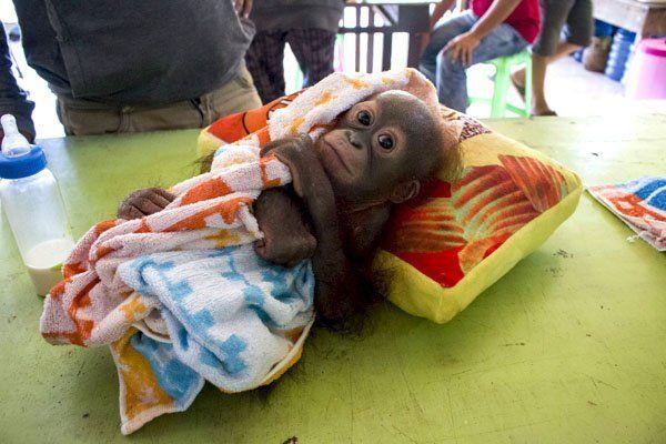 Didik, bayi orangutan yang menjadi korban penembakan.