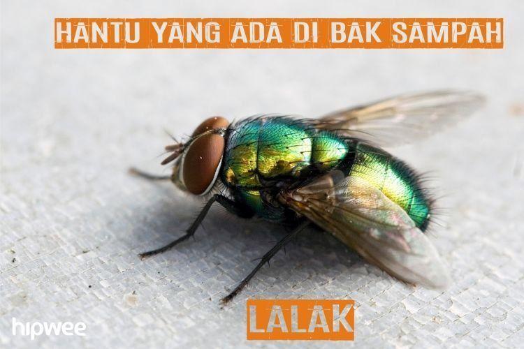 lalat itu mah