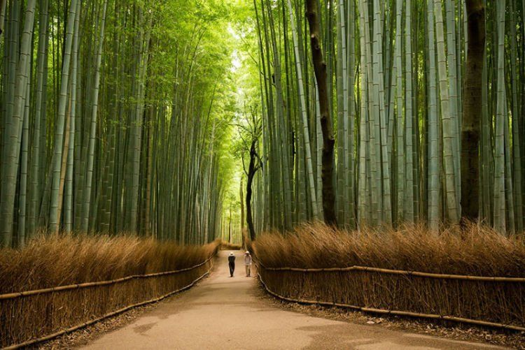 Pohon bambu aja indah ya